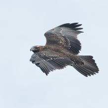 black_chested_buzzard_eagle_flight_t9a1448_dxo